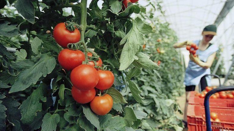Cultivo de tomates en Gran Canaria